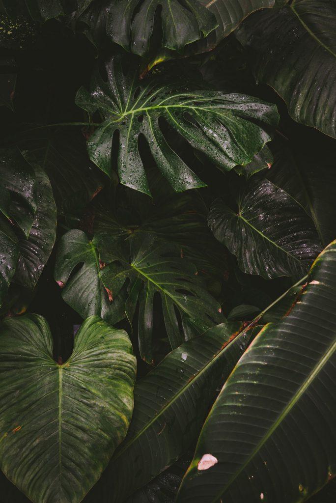 Monstera roślina doniczkowa - Lovegarden