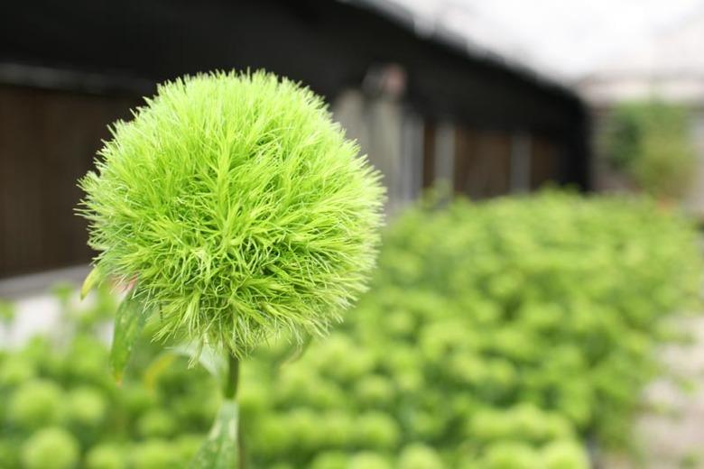 kwiat goździk brodaty