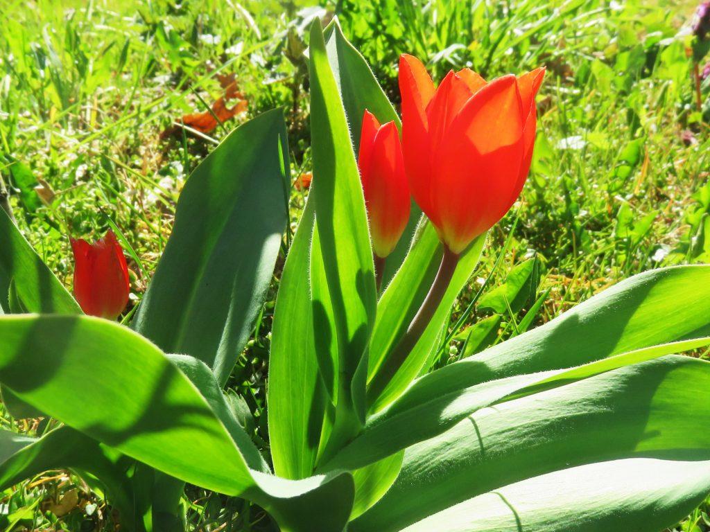 Tulipany w ogrodzie - odmiany