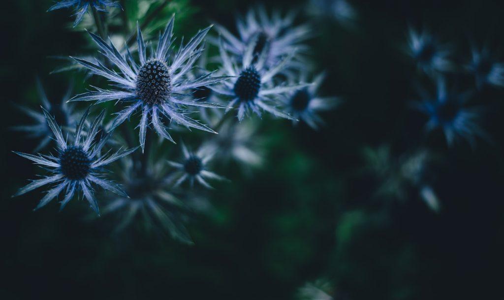 kwiaty mikołajka płaskolistnego