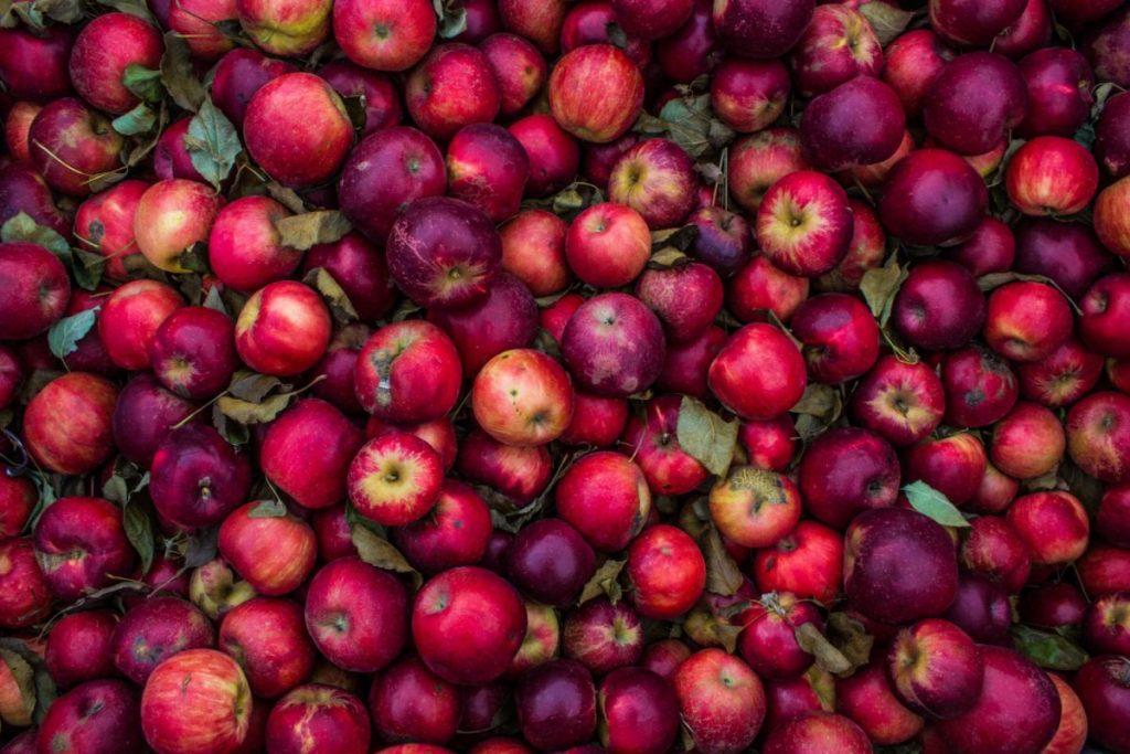 Jesienne zbiory jabłek